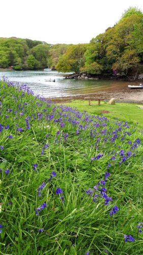 Bluebells in Cornwall | Helford River | Budock Vean Hotel